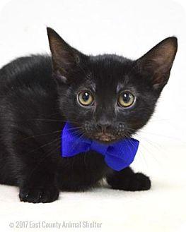 Domestic Shorthair Kitten for adoption in Dublin, California - Abe