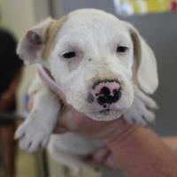 Adopt A Pet :: 36465257 - Cleveland, AL