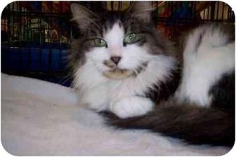 Domestic Longhair Cat for adoption in Stafford, Virginia - Little bit