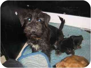 Terrier (Unknown Type, Small) Mix Dog for adoption in Albuquerque, New Mexico - Rocko