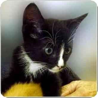 Domestic Shorthair Kitten for adoption in San Clemente, California - BRET
