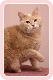 Domestic Shorthair Cat for adoption in Sterling Heights, Michigan - Michelle - ADOPTED!