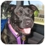 Photo 1 - Labrador Retriever/American Pit Bull Terrier Mix Dog for adoption in Richmond, Virginia - Georgia
