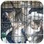 Photo 3 - Domestic Shorthair Kitten for adoption in Lexington, Missouri - baby kittens, tabby, tan
