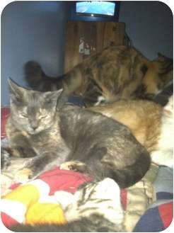 Domestic Shorthair Cat for adoption in Clay, New York - SPECIAL NEED KITTY'S