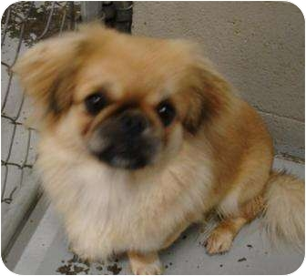 Pekingese/Pug Mix Dog for adoption in Grants Pass, Oregon - Ginsing
