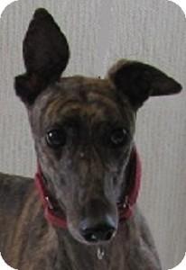 Greyhound Dog for adoption in Swanzey, New Hampshire - Crystal