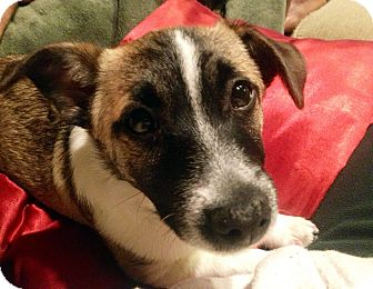 Jack Russell Terrier/Terrier (Unknown Type, Small) Mix Puppy for adoption in Owensboro, Kentucky - Oscar