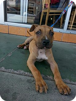 Boxer/American Pit Bull Terrier Mix Puppy for adoption in West Hills, California - Macho