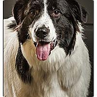 Adopt A Pet :: Stella - Owensboro, KY
