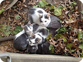 Domestic Shorthair Cat for adoption in Montgomery City, Missouri - Mimi