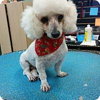 Adopt A Pet :: Shirley Sue - Shawnee Mission, KS