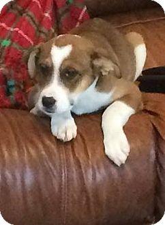 Shepherd (Unknown Type) Mix Puppy for adoption in Spring City, Pennsylvania - Ingle