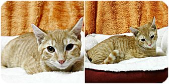Domestic Shorthair Kitten for adoption in Forked River, New Jersey - Donald