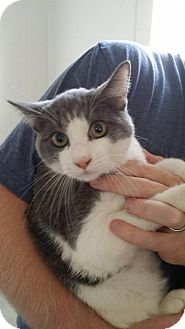 Russian Blue Kitten for adoption in San Diego, California - Gamsy