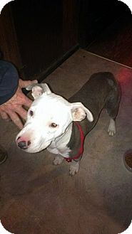 American Bulldog Mix Puppy for adoption in Jarrell, Texas - Holly