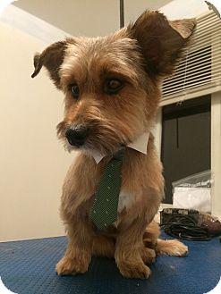 Dachshund/Yorkie, Yorkshire Terrier Mix Dog for adoption in Wethersfield, Connecticut - Stitch