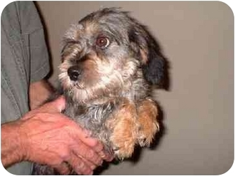 Lhasa Apso/Beagle Mix Dog for adoption in Wauseon, Ohio - Ella