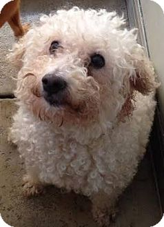 Bichon Frise Dog for adoption in Westminster, California - Arkansas