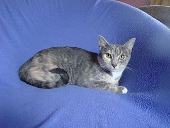 Domestic Shorthair Cat for adoption in Sarasota, Florida - Anastasia