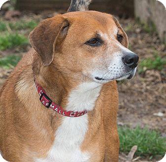 Beagle Mix Dog for adoption in Elmwood Park, New Jersey - Jango