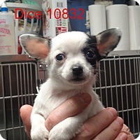 Adopt A Pet :: Dice - Greencastle, NC