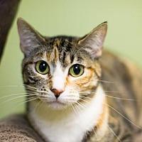 Domestic Shorthair Cat for adoption in Auburn, California - Cindee