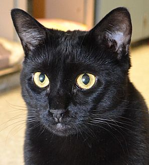 American Shorthair Cat for adoption in Independence, Missouri - Peaches