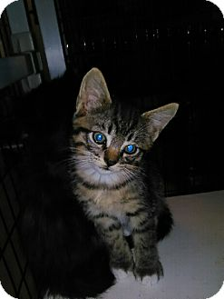 Domestic Shorthair Kitten for adoption in Elk Grove, California - BOODLE