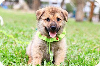Chow Chow/Shiba Inu Mix Puppy for adoption in Temple City, California - Chester