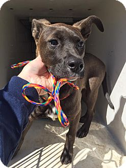 Pit Bull Terrier/Shepherd (Unknown Type) Mix Dog for adoption in Humble, Texas - Trish