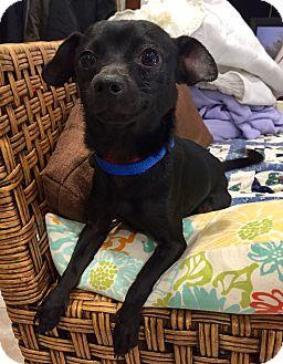 Dachshund/Patterdale Terrier (Fell Terrier) Mix Dog for adoption in Santa Ana, California - Winston