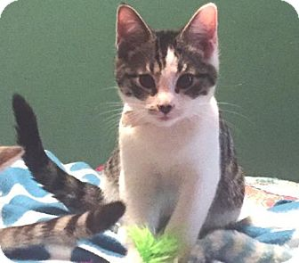 Domestic Shorthair Kitten for adoption in Springfield, Oregon - Bert