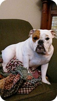English Bulldog Dog for adoption in Columbus, Ohio - Lou  Lou