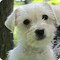 Adopt A Pet :: Blossom - Allentown, PA