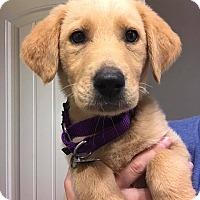 Adopt A Pet :: Violet Pup - Portland, ME