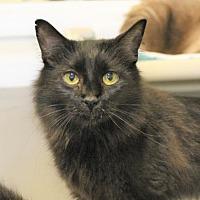 Domestic Mediumhair Cat for adoption in Atlanta, Georgia - Jen