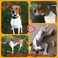 Adopt A Pet :: Bub - Dunmore, WV
