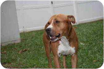 Pit Bull Terrier Mix Dog for adoption in Saint Charles, Missouri - Buster Brown