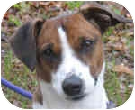 Jack Russell Terrier Mix Dog for adoption in Eatontown, New Jersey - Sparky