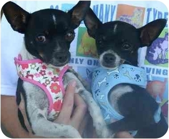 Chihuahua Mix Dog for adoption in Tracy, California - Jasper & Tia-ADOPTED