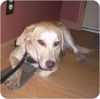Labrador Retriever Mix Dog for adoption in Paintsville, Kentucky - Brody