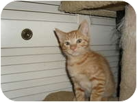 Domestic Shorthair Kitten for adoption in Tampa, Florida - Cody