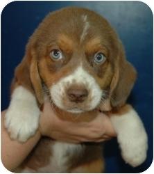Beagle/Anatolian Shepherd Mix Puppy for adoption in Gaffney, South Carolina - Alvin