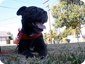 American Staffordshire Terrier Mix Dog for adoption in La Habra, California - Ladybug