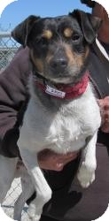 Jack Russell Terrier/Terrier (Unknown Type, Medium) Mix Dog for adoption in Rochester, Michigan - RJ