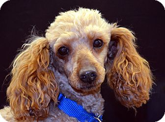 Poodle (Miniature) Mix Dog for adoption in Bridgeton, Missouri - Rusty