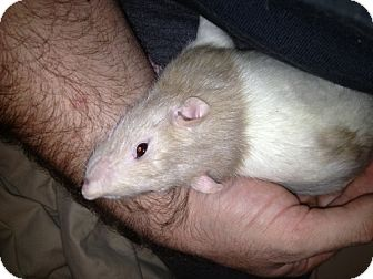 Rat for adoption in Baltimore, Maryland - Switz