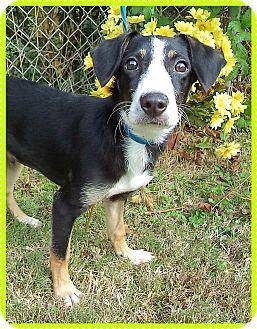 Border Collie Mix Puppy for adoption in Marietta, Georgia - BEAR (R)