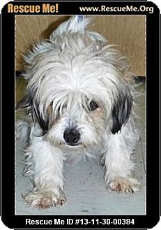Havanese Dog for adoption in Boulder, Colorado - Sierra-PENDING